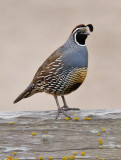 California Quail, male (#2 of 2)