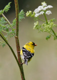 American Goldfinch, prealternate male