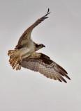 Osprey, probable female