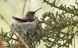 Allen's Hummingbird, adult