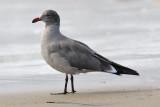 Heermann's Gull, basic adult