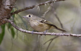Hutton's Vireo (#1 of 2)