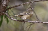 Hutton's Vireo (#2 of 2)
