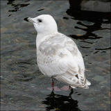 Kumlien's Iceland Gull, 2nd cycle