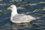 Kumlien's Iceland Gull, 3rd cycle