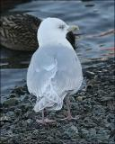 Kumlien's Iceland Gull, 3rd cycle (1 of 2) - also page 2