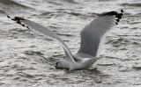 Mew Gull, large basic adult (#3 of 3)