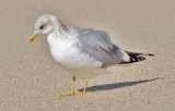 probable  Mew Gull, basic adult. Note pale eye