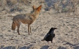 Common Raven with American Coyote