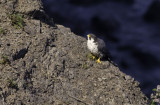 My first Peregrine Falcon!