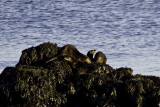 Family group of 4 river otters at Deep Cove