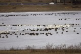 Canada Geese and Tundra Swans