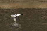 Common Merganser - male
