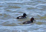 Redhead & Ring-necked Duck