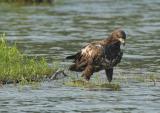 Bald Eagle - immature