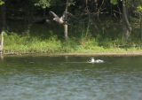 Immature Bald Eagle harassing an immature gull