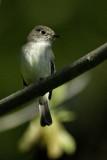 Flycatcher - Empidonax