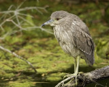 Black-crowned Night-Heron - immature