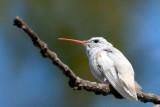 Ruby-throated Hummingbird 6