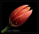 Dew drops (Challenge: Flora III)