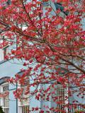 Red dogwood on blue
