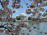 Cherry Blossoms on the Tidal Basin (2nd, Changing Seasons Challenge)