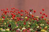 Sultanahmet tulips