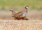 Partridge & Grouse