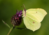 Whites, includes Swallowtails & Yellows