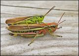 Kärrgräshoppa - Stethophyma grossum.jpg