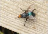 Blowfly -  Cynomya mortuorum.jpg