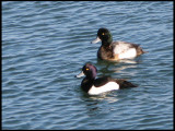 Tufted Duck - Aythya puligula and Scaup - Aythya marila.jpg