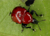 Leaf Rolling Weevil 041008 002r.jpg