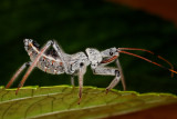 Assassin Bug 1