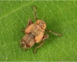 Leaf Hopper Immature 050308 2r.jpg
