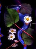 daisy.ru.aa.jpg