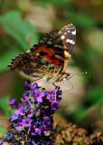 Butterfly Drinking from Butterfly Bush