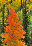 Fiery Leaves at Vail