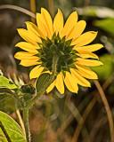The Little Sunflower
