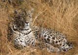 Female Leopard - Karula