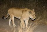 Nkuhuma Lioness