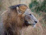 Manyaleti Male Lion After Rain