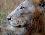 Manyaleti Male Lion Close Up