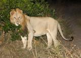Manyaleti Male Lion Scent Marking