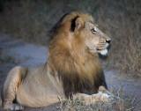 Manyaleti Male Lion