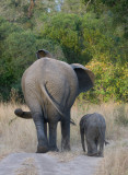 Mother and Baby Elephant Taking A Walk