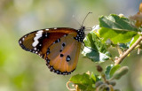 African Monarch Butterfly