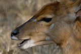 Bushbuck Close Up