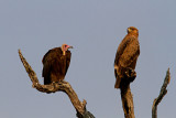 Hooded vulture and tawny eagle
