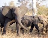 Elephant Female Annoyed